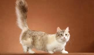 munchkin cats munchkin cat breed information