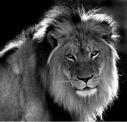 Lion Shepherd Wolf Animals Artystycznie Lions Face