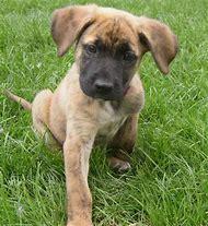 German Shepherd Boxer Mix Puppy