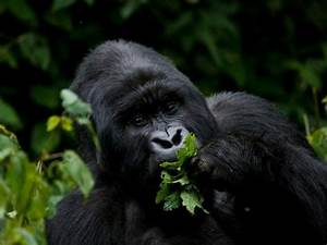 Mountain Gorilla Eating Leaves Photographic Print by ...