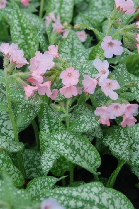 shade loving perennials uk 17 best images about pulmonaria on pinterest hard at work gardens and shade plants