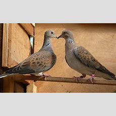 Turtle Dove (streptopelia Turtur) For Sale  Pigeons And Doves  Breed Information Omlet