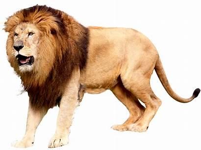 Lion Pngimg Lions Animals