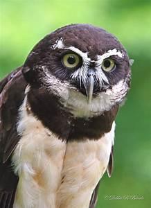Spectacled Owl photo - Debbie Blackburn Beierle photos at ...