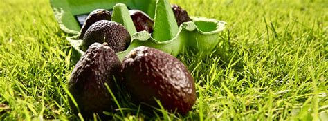 am駭agement mini cuisine tesco offers mini avocados to stop food waste supply management