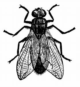 House Fly Clipart Black And White