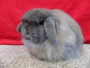 american fuzzy lop rabbit facts care sheet pictures