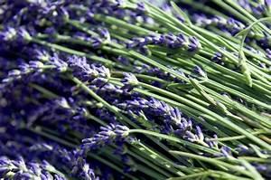 Verholzten Lavendel Schneiden : lavendel r ckschnitt r ckschnitt f r lavendel schweizer ~ Lizthompson.info Haus und Dekorationen