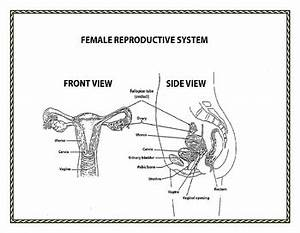 Human Growth And Development  Male And Female Reproductive