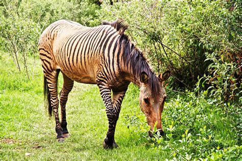 zorse zebroid zebra horse horses animal cross hybrids animals kenya mare stallion donkey between nanyuki zebras zonkey biggest thoroughbred kingdom