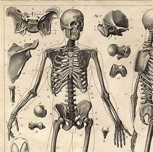 Vintage Anatomy Skeleton Diagram Print  Doctor Office