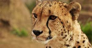 Cheetahs Are Far Closer To Extinction Than We Realized