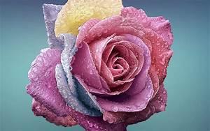 be61-flower-rose-art-illustration-wallpaper