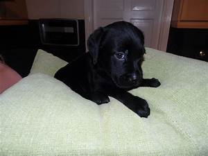 Black labrador puppy 8 weeks – Dogs our friends photo blog