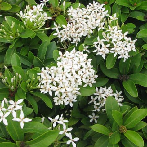 katalog gambar harga bunga asoka ibad garden