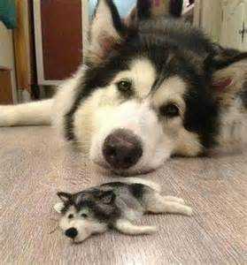 huge husky gets a miniature friend made from its own fur