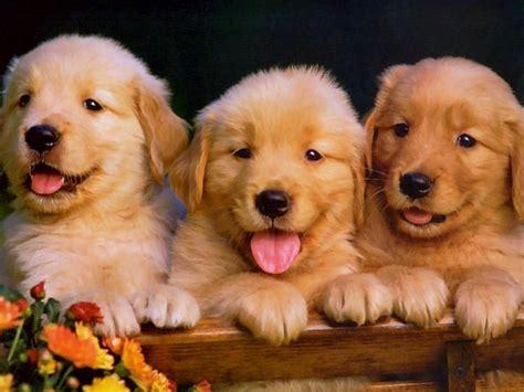 cachorros tratados na medicina chinesa vivem mais