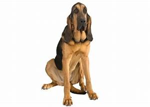 Bloodhound - Dog Breed Information, Facts & Lifespan