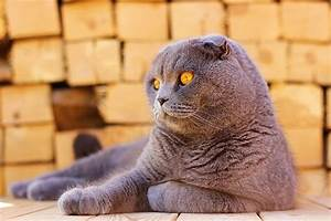 Scottish Fold Cats - Pet Care Facts