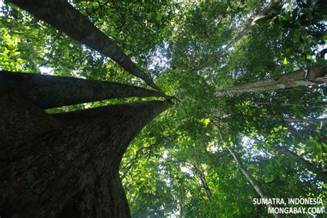 canap tress rainforest canopy trees
