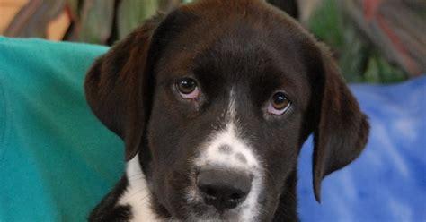Nevada Spca Animal Rescue Adorable Border Collie Mix Puppies Debuting For Adoption Today