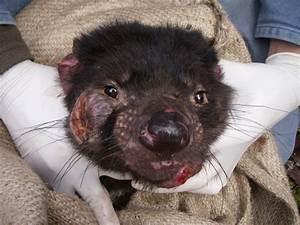 Settlers weren't responsible for Tasmanian devil gene decline