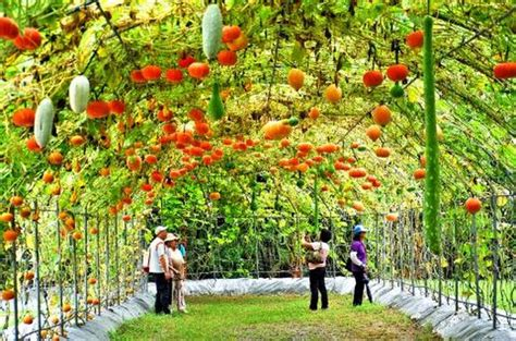 Garden Arch Tunnel by Squash And Pumpkin Tunnels