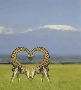 Giraffe Making Heart