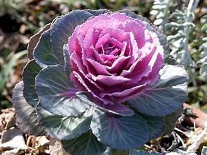 Planter Des Choux Fleurs : choux d 39 ornement planter et entretenir ooreka ~ Melissatoandfro.com Idées de Décoration