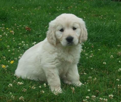 Golden Retriever Puppies Cairndow Argyll Pets4homes