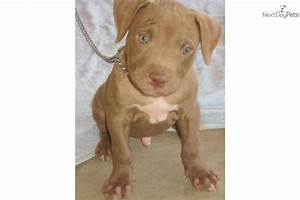 bronxlarge-male-red-nose-pupdog-american-pit-bull-terrier ...