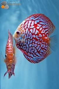 25+ best ideas about Discus on Pinterest   Discus fish ...