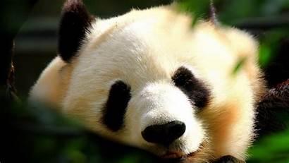 Wallpapers 1080p Animal Funny Animals Panda Adorable