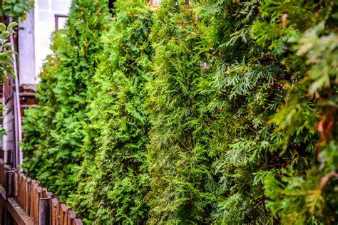 Welche Pflanzen Eignen Sich Als Sichtschutz? » Eine Auswahl