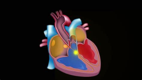 slow motion  blood flow   heart seamless loop