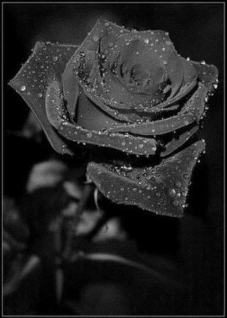 Black Rose: Beauty that does(not) exist