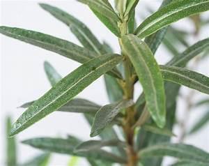 Sanddorn Pflanzen Kaufen : sanddorn pollmix 5 hippophae rhamnoides pollmix 5 g nstig online kaufen ~ Eleganceandgraceweddings.com Haus und Dekorationen