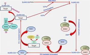 Schematic Model Of E3 Ligase