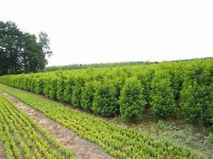 Kirschlorbeer Als Hecke : portugiesischer kirschlorbeer 39 angustifolia ~ Michelbontemps.com Haus und Dekorationen