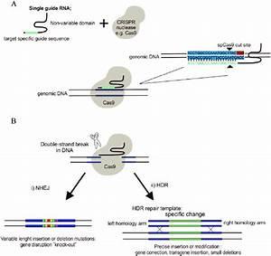 Principle Of Crispr Gene Editing   A  Single Guide Rna