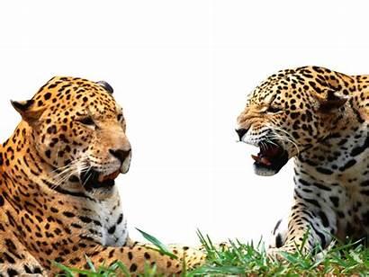 Leopard Animal Jaguar Animals Deviantart Cliparts Groups