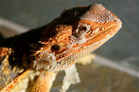 Here are only the best dragon head wallpapers. Bearded Dragon phone, desktop wallpapers, pictures, photos, bckground images
