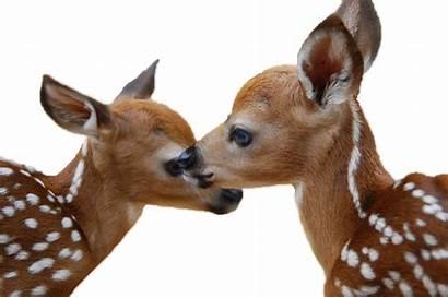 Deer Dear Moose Transparent Animals Each Mountain