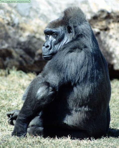 fotos de gorilas