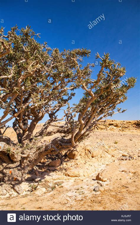 growing frankincense frankincense tree oman stock photos frankincense tree oman stock images alamy