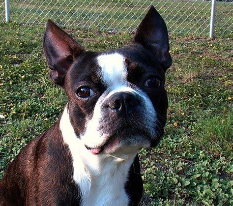 boston terrier daxtons friends