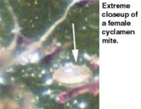 doctor optimara cyclamen mites