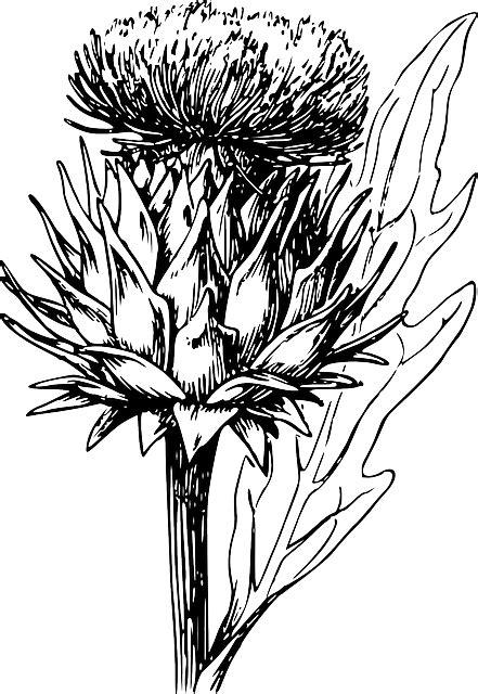 artichoke vegetable thistle  vector graphic  pixabay