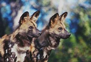 African Wild Dogs As Pets - Dog : Pet Photos Gallery# ...