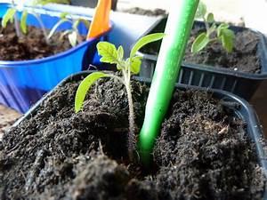 Tomaten Selber Anbauen : tomaten selber anbauen pikieren ~ Orissabook.com Haus und Dekorationen